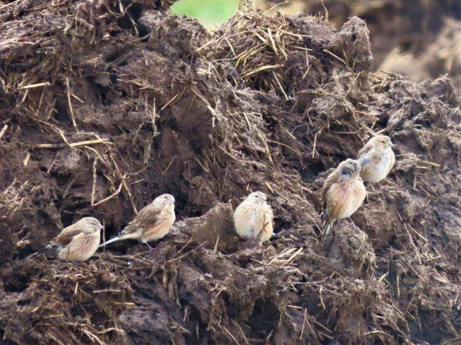 Čivyliai maitinasi ant mėšlo krūvos, nuotr. Marijos Jankauskienės