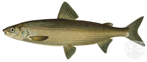 ezerinis sykas